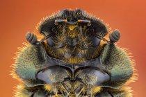 Primer plano del escarabajo de estiércol, macrofotografía entomológica. - foto de stock
