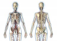 Anatomía femenina sistema cardiovascular con esqueleto sobre fondo blanco . - foto de stock