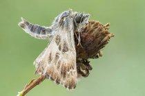 Plan rapproché de la teigne marbrée de skipper sur la fleur sauvage séchée. — Photo de stock
