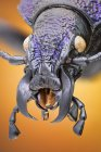Ground beetle in black and purple, detailed portrait. — Foto stock