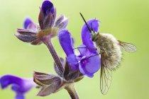 Primo piano della mosca delle api sul fiore di rapsodia rosa . — Foto stock