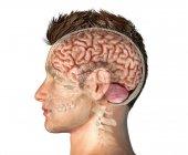 Cabeza masculina con sección transversal del cráneo con todo el cerebro sobre fondo blanco . - foto de stock