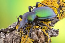 Green carabid beetle sitting on yellow lichen-covered branch. — стокове фото