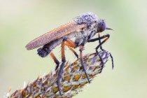 Кинджал літати на квітці, як ланцетолистий рослина. — стокове фото