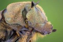Primer plano del verdadero retrato del escarabajo de estiércol en la vida silvestre. - foto de stock