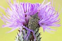 Cardo bud weevil sentado em flor de cardo comum . — Fotografia de Stock