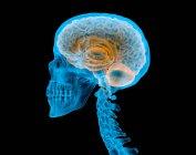 Calavera humana con cerebro con efecto de rayos X sobre fondo negro . - foto de stock