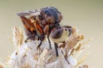 Крупный размер толстоголовых мух и сидя щихна на полевых цветах. — стоковое фото