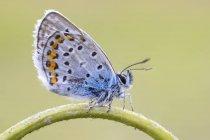 Plan rapproché du papillon bleu d'Idas sur la tige en forme d'arc. — Photo de stock