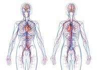 Female cardiovascular system on white background. — Stock Photo