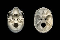 Calavera humana transversal de sección transversal y vista inferior sobre fondo negro . - foto de stock
