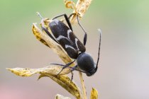Крупним планом чорний довгон Жук на диких рослин. — стокове фото