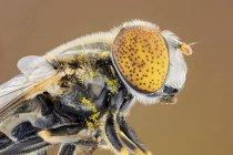 Hoverfly ojo manchado en foto de retrato de perfil. - foto de stock