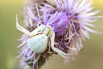 Primer plano de la araña cangrejo de flores en posición de caza en flor silvestre . - foto de stock