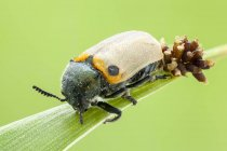 Leaf beetle with laid eggs on blade of grass. — Photo de stock