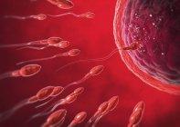 Illustration 3D de rouges transparents spermatozoïdes nageant vers la cellule oeuf. — Photo de stock
