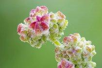 Flor planta de pie de ganso blanco creciendo al aire libre - foto de stock