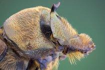 Vero ritratto di profilo di scarabeo sterco . — Foto stock