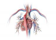 Menschliches Herz mit Blutgefäßen und Bronchialbaum auf weißem Hintergrund. — Stockfoto