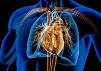 Human heart with vessels, lungs and bronchial tree in x-ray effect on black background. — Stock Photo