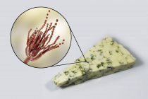 Queso Roquefort e ilustración digital del hongo Penicillium roqueforti . - foto de stock