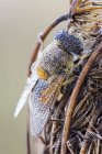 Drone fly trapped on dried wild plant. — Photo de stock