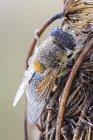 Mouche de drone emprisonnée sur la plante sauvage séchée. — Photo de stock