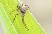 Aranha do caranguejo de tmarus na borda da folha verde. — Fotografia de Stock
