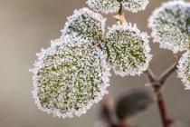 Wildrosenblätter bedeckt von frühmorgendlichen weißen Frostkristallen. — Stockfoto