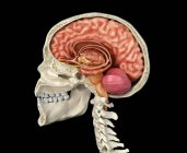 Cráneo humano de sección media sagital con cerebro sobre fondo negro . - foto de stock