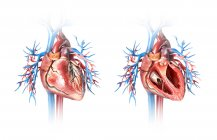 Menschliches Herz im Querschnitt und ganz mit Gefäßen auf weißem Hintergrund. — Stockfoto