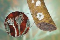 Embutido ahumado mohoso e ilustración del hongo microscópico Penicillium que causa deterioro de los alimentos y produce penicilina antibiótica . - foto de stock