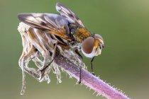 Крупним планом tachinid літати сидячи на диких рослин. — стокове фото