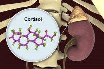 Modelo molecular de hormona cortisol e ilustración digital de la glándula suprarrenal . - foto de stock