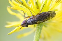 Close-up of picture-winged fly on wild plant yellow flower. — Stock Photo