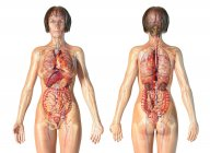 Anatomía femenina sistema cardiovascular con esqueleto y órganos internos . - foto de stock