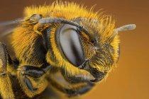 Primer plano de la abeja de surco de patas naranjas. - foto de stock