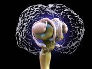 Anatomía cerebral humana detallada, ilustración digital coloreada . - foto de stock