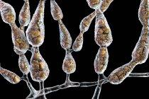 Fungo allergenico dematiaceo filamentoso Alternaria alternata, illustrazione digitale . — Foto stock