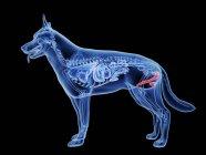 Silueta para perros con genitales de color rojo sobre fondo negro, ilustración digital . - foto de stock