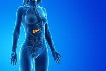 Páncreas coloreado en modelo femenino anatómico, ilustración digital . - foto de stock