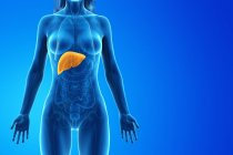 Silueta femenina con hígado detallado sobre fondo azul, ilustración por ordenador . - foto de stock