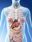 Anatomía del cuerpo superior femenino y órganos internos, ilustración por computadora . - foto de stock
