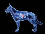 Silueta de perro con el estómago de color rojo sobre fondo negro, ilustración digital . - foto de stock