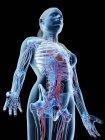 Sistema vascular de la parte superior del cuerpo femenino, ilustración por ordenador . - foto de stock