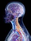 Anatomía y vasos sanguíneos masculinos de cabeza y cuello, ilustración por computadora . - foto de stock