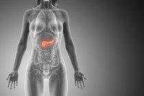 Pâncreas colorido em modelo anatômico feminino, ilustração digital . — Fotografia de Stock