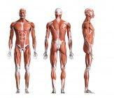 Ilustración digital compuesta de la musculatura masculina en la vista delantera, trasera y lateral . - foto de stock
