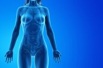Modelo del cuerpo humano que muestra la anatomía femenina con órganos internos, ilustración de renderizado 3D digital . - foto de stock