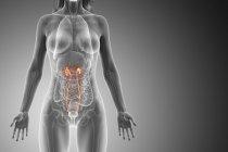 Ureter visível em corpo feminino abstrato, ilustração de computador . — Fotografia de Stock